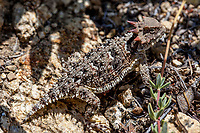 Phrynosoma blainvillii (Blainville's Horned Lizard) at Upper Big Tujunga Canyon, Angeles NF, Los Angeles Co, CA, USA, on 10-Jul-15
