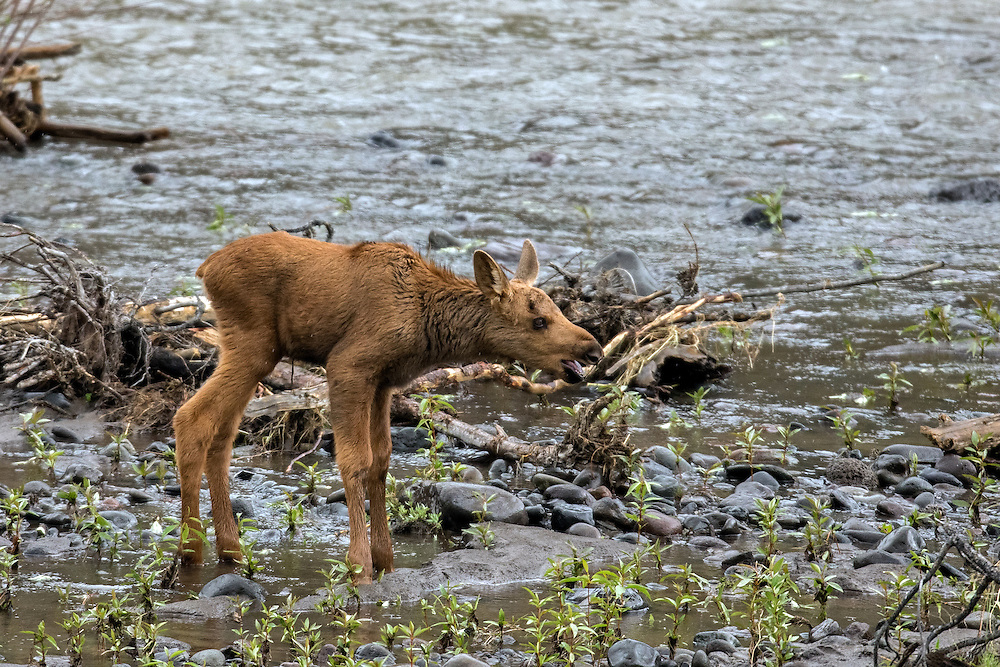 Stranded on the flooded island, the tiny moose calf calls for his mother who has left the island to feed along the shoreline.  After a short while, the cow returned to comfort her calf.