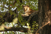 Female ..leopard resting in a large tree, Moremi Game Reserve,, Botswana