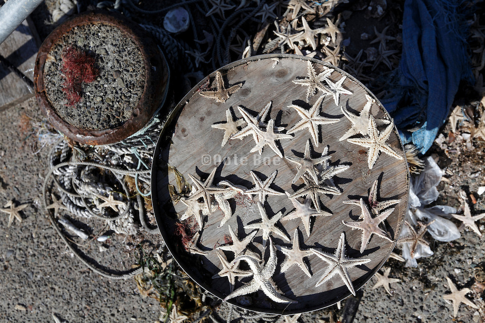 dried out starfish Japan