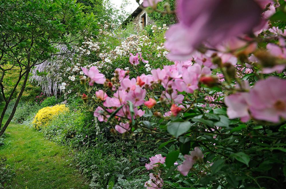 """France, Languedoc Roussillon, Gard, Concoules, Jardin du Tomple, jardin remarquable, rosier Plaisanterie, le buisson jaune au fond: berberis thunbergii """"aurea""""."""