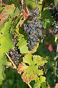 Weintrauben, Weinberge Groß-Umstadt, Odenwald, Naturpark Bergstraße-Odenwald, Hessen, Deutschland | grape vine, vine yards Groß-Umstadt, Gross-Umstadt, Odenwald, Hesse, Germany