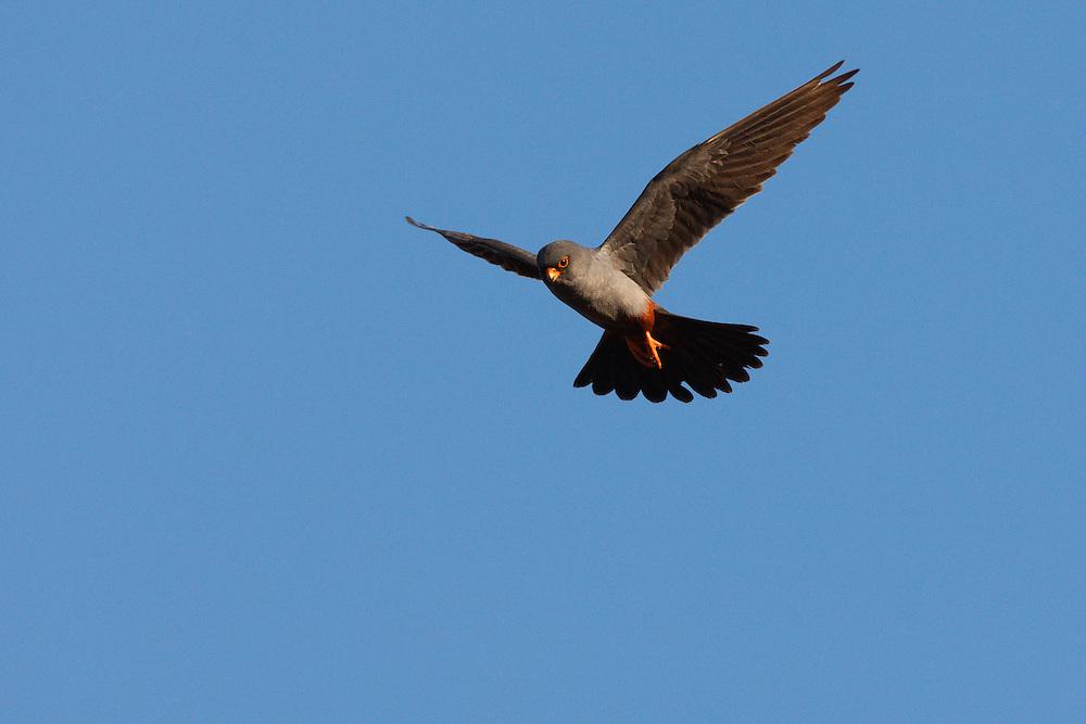 Male Red-footed Falcon in flight, Bagerova Steppe, Kerch Peninsula, Crimea, Ukraine