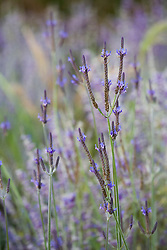 Lavandula pinnata with perovskia