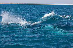 Relative calm on the surface as four Humpback whale bulls jostle just underwater.
