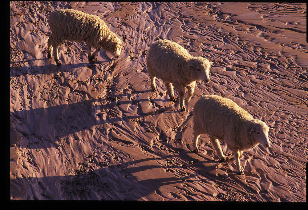 Sheep crossing creek bed near Oljeto, Utah.  1993