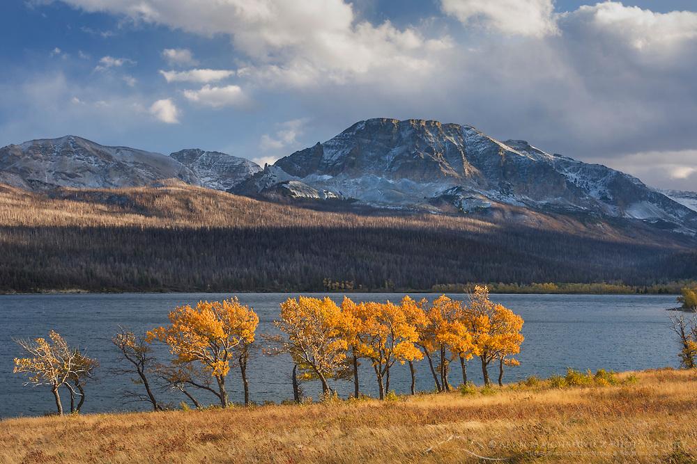 Aspens in autumn foliage along Lake McDonald, Glacier National Park Montana USA