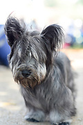 Skye Terrier is a breed of dog that is a long, low, hardy terrier