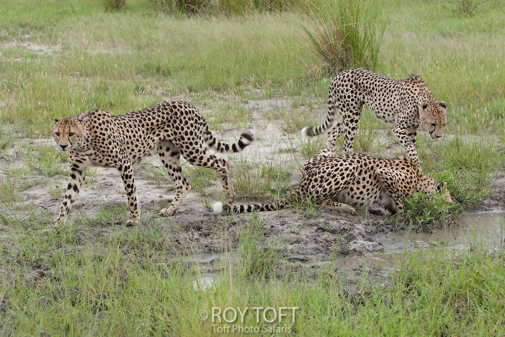 Three wild African cheetah's stop for drink at the water's edge, Botswana, Africa