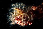 Die mit Polypen besetzte Schmuckkrabbe (Hoplophrys spec.) lebt auf einem Schwamm | Decorator crab (Hoplophrys spec.)
