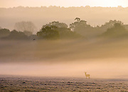 © Licensed to London News Pictures. 06/11/2014. Richmond, UK. A deer stands in a misty frosty field.  People and animals during a frosty start to the day on 6th November 2014. Temperature fell across the country overnight. Photo credit : Stephen Simpson/LNP
