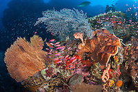 Anthias Take Cover Amongst Seafans and Sponges..Shot in Indonesia..