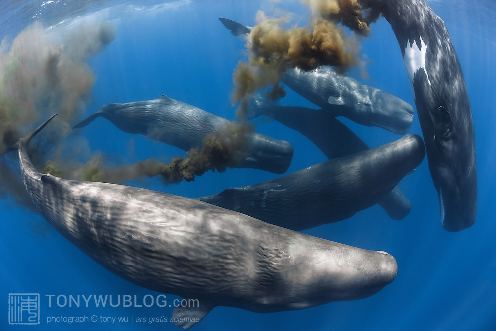 A group of sperm whales (Physeter macrocephalus) with one defecating. These whales are all females, and were part of a large gathering, comprising up to perhaps 100 individuals divided among several groups distributed over a large area. Sperm whales seem to defecate often while they are at the surface.