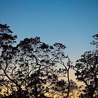 TNC Big Island Honomalino Preserve, Koa Trees, silhouette @ sunset