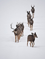 January 2017 a line of Mule Deer follow each other on a well worn trail across a field just as the snow is letting up!