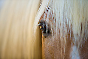 A closeup portrait of the eye of Wizard, a Haflinger horse.