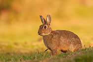 European Rabbit (Oryctolagus cuniculus) adult, sitting on grazing marsh, Norfolk, Uk.