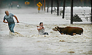 102103 As flood waters chase them from their farm in Sedro Wooley, Nick Pisano, left, and his son Damian McDonell (both CQ) struggle in the swirling current to rescue a neighbor's cow.  With help from others they succeeded.<br /> <br /> <br /> <br /> Flood in Skagit Valley.