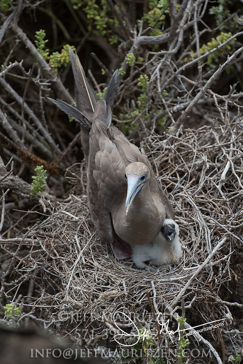A Red-footed booby nests on Punta Pitt, San Cristobal island, part of the Galapagos archipelago of Ecuador.