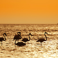 Atardecer con flamencos en la isla de Aruba. Aruba, es una isla de 33 km de largo de las Antillas Menores en el sur del Mar Caribe, ubicado a 27 km al norte de la costa de Venezuela. Junto con Bonaire y Curaçao, forma un grupo llamado las islas ABC de las Antillas de Sotavento, la cadena de islas del sur de las Antillas Menores. Sunset with flamingos on the island of Aruba. Aruba is a 33 km long island of the Lesser Antilles in the south of the Caribbean Sea, located 27 km north of the coast of Venezuela. Along with Bonaire and Curaçao, it forms a group called the ABC islands of the Antilles of Sotavento, the chain of islands of the south of Lesser Antilles.