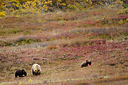 A mother brown bear and her two cubs graze on berries as the tundra changes color in the early fall, in Denali National Park, Alaska, September 3, 2017. <br /> Photo by David Lienemann