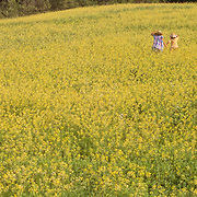 Two girls running in a meadow of yellow flowers. Jefferson, Maine