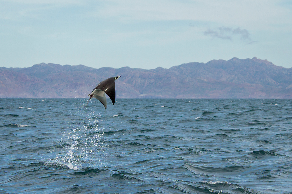 A mobula ray takes to the air in the waters off of Loreto, Baja Mexico. While there are a few theories as to why the rays breach, such as to remove parasites or to attract a mate, as of yet there is still no definitive answer.