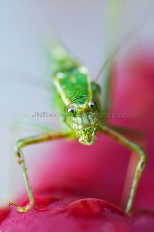 Katydids are also known as long-horned grasshoppers. Macro image of katydid standing on a calla lily.