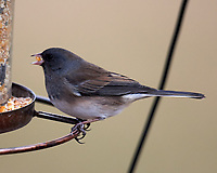Dark-eyed Junco. Image taken with a Nikon D5 camera and 600 mm f/4 VR lens (ISO 560, 600 mm, f/4, 1/640 sec)