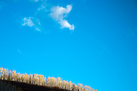 Autumn Aspen (Populus tremuloides)  on a ridge against a blue sky, with a small cloud in the San Juan Mountains, Uncompahgre National Forest, Colorado, USA