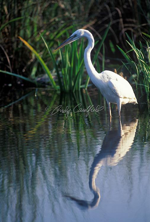 Great White Heron, Everglades NP, Florida USA..Ardea occidentalis occidentalis