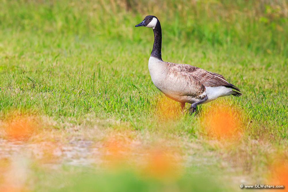 A Canada goose with out of focus Galardi of flowers in the foreground.