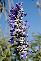 Blue Mealy Sage, (Salvia farinacea), Kimble County, Texas