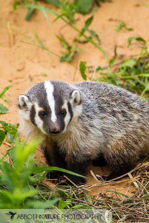 American Badger (Taxidea taxus)<br /> WISCONSIN: Columbia Co.<br /> N of Poinette at intersection of Hwy 51 and Morse Rd.<br /> 9-June-2014<br /> J.C. Abbott &amp; K.K. Abbott