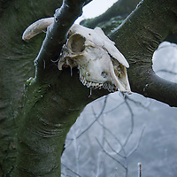 Skull of a Ram caught in the braches of a tree on a frosty winter morning.