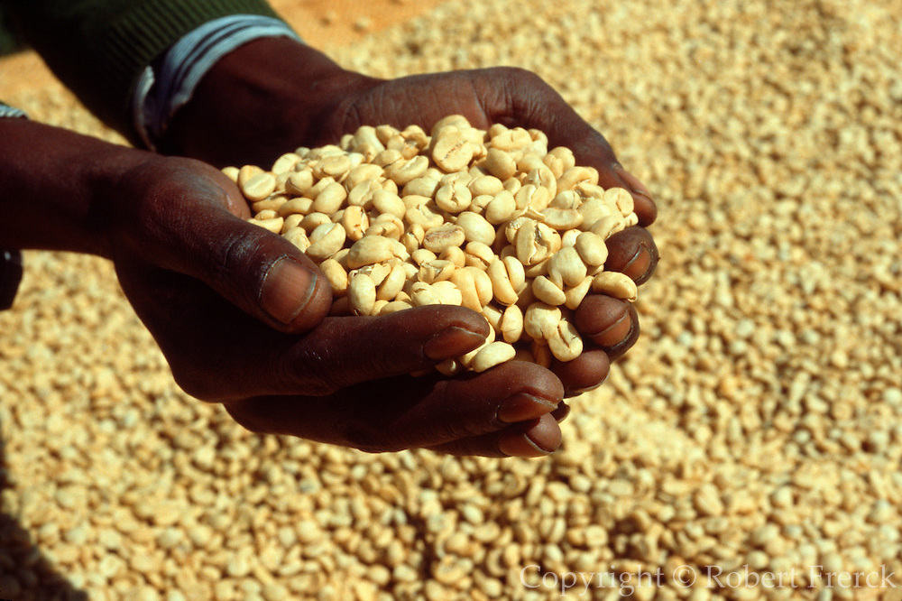 KENYA, AGRICULTURE coffee beans being dried by the sun on a  plantation in the Kikuyu highlands of Kenya