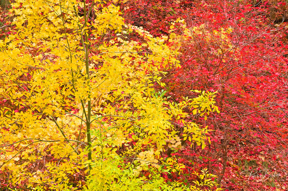 Fall Bigtooth maple and cottonwood in Zion Canyon, Zion National Park, Utah