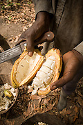 Cocoa farmer Lawson Lanquaye Mensah, 70, holds a cocoa pod he just cracked open to display the seeds on his farm in the town of Assin Adadientem, roughly 100km west of Ghana's capital Accra on Sat. January 21, 2007. The seeds will then be wrapped in banana leaves and left to ferment for six days before being sun-dried.
