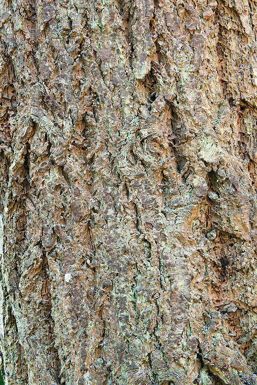 Pseudotsuga menziesii (Douglas fir). The Hermitage (NTS), Dunkeld, Perthshire, Scotland, UK.
