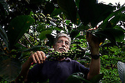 Claudio Corallo is pruning a Liberian-quality coffee plant in his plantation on the island of Principe, Sao Tome and Principe, (STP) a former Portuguese colony in the Gulf of Guinea, West Africa.