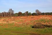 Sandlings heathland winter landscape, Sutton Heath, Suffolk, England