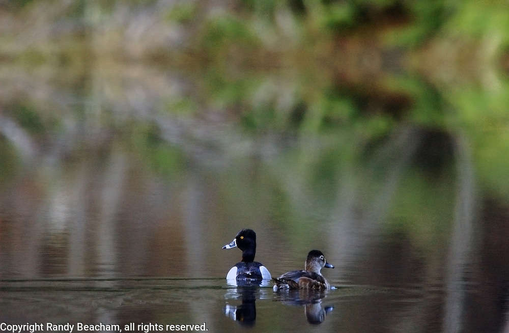 A pair of ring-necked ducks on Hoskins Lake. Yaak Valley, Montana