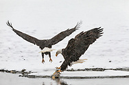 Bald Eagle (Haliaeetus leucocephalus) forces another eagle off from foraging a Chum salmon along the Chilkat River in the Chilkat River Bald Eagle Preserve in Southeast Alaska. Winter. Morning.