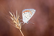 Grass Jewel (Chilades trochylus or Freyeria trochylus) Butterfly