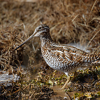 Solitary Snipe photographed in the remote stream of Ladakh Himalayas, India.