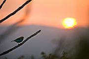 Itabirito_MG, Brasil..Saira-sete-cores ou brasileirinho no galho de uma arvore em frente ao por do sol...Saira-sete-cores or brasileirinho in branch of tree in front of sunset...Foto: JOAO MARCOS ROSA /  NITRO
