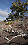 Mountainville, New York - Pitch pine (pinus rigida) grow (and die) on the eastern ridge of Schunnemunk Mountain on Nov. 28, 2010.