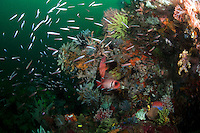 Reef Packed with Soft Corals, fish, and other invertebrate life