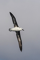 Immature Black-Browed Albatross in flight, Cape Canyon Trawl Grounds, South Africa
