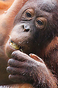 Young Bornean Orangutan eating, Pongo pygmaeus morio, Orang Utan Sanctuary Sepilok, Sabah, Borneo